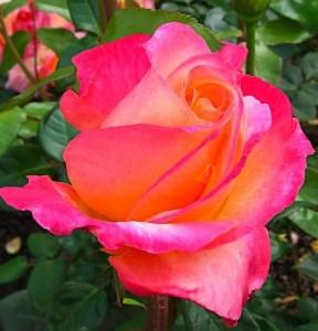 Rosesmall